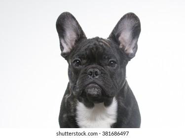 French bulldog portrait. Image taken in a studio.
