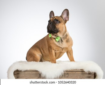 French bulldog portrait. The puppy is wearing green bow. Looking funny. Image taken in a studio.