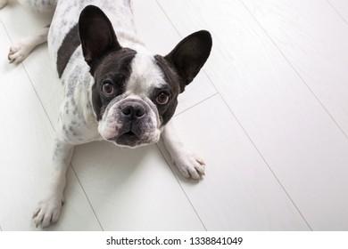 French bulldog posing on the floor