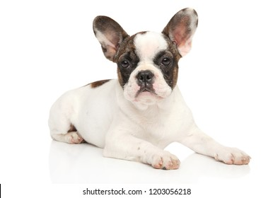 French bulldog posing on a white background