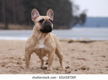 French bulldog posing outside