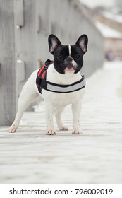 French bulldog posing in the winter park.  Frenchie outside in the snow.