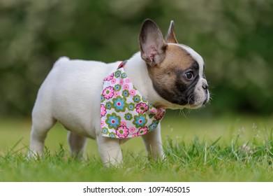 French bulldog. Profile of small puppy.