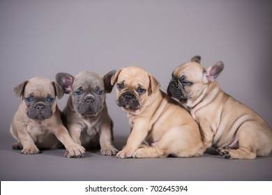 French Bulldog puppies group portrait, gray background