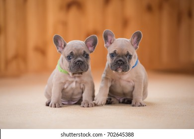 French Bulldog puppies portrait