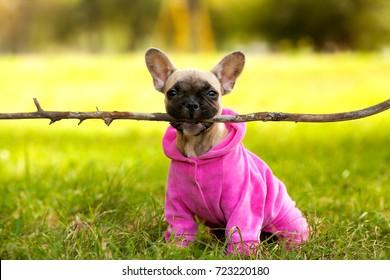 French Bulldog. puppy