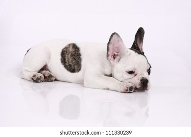 French bulldog puppy, 3 months old, lies on a white background