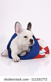 French bulldog puppy, 3 months old, lies in the hat on a white background