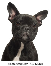 French bulldog puppy, 5 months old, portrait and close up against white background