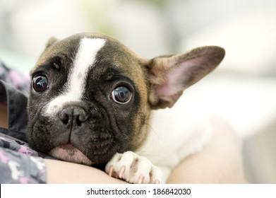 French bulldog puppy in animal hospital