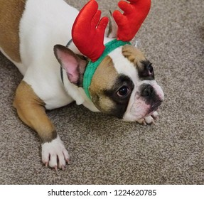 A French bulldog puppy with antlers on