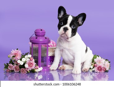 French bulldog puppy and autumn flowers