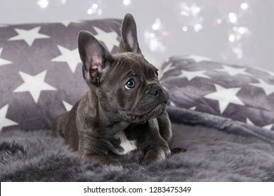 French bulldog puppy in a dog bed