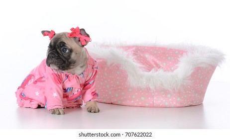 french bulldog puppy in a dog bed on white background