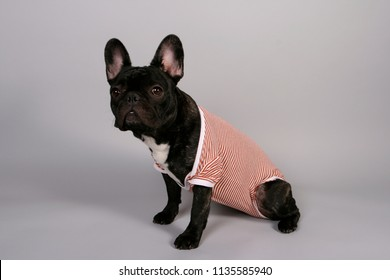 French Bulldog puppy dressed with a todler romper