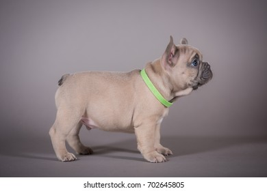 French Bulldog puppy exterior pose standing