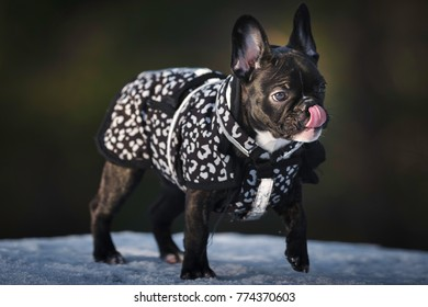 French bulldog puppy in homemade winter clothes running during a promenade licking her nose almost always.
