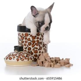 french bulldog puppy inside a jar full of treats on white background