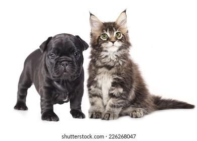 French Bulldog puppy and kitten