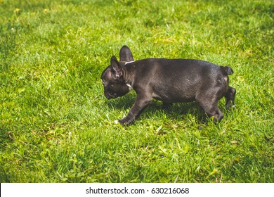 French bulldog puppy, know as Frenchie