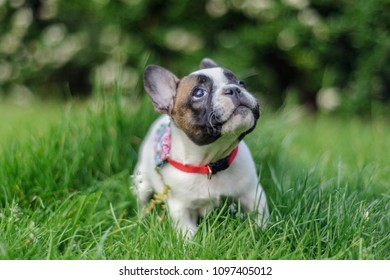 French bulldog puppy looking up with curious expression.