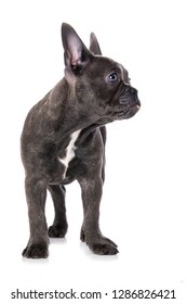 French bulldog puppy looking to the side