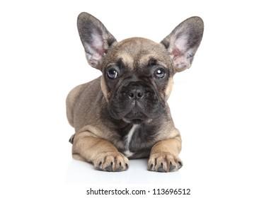 French bulldog puppy lying on a white background