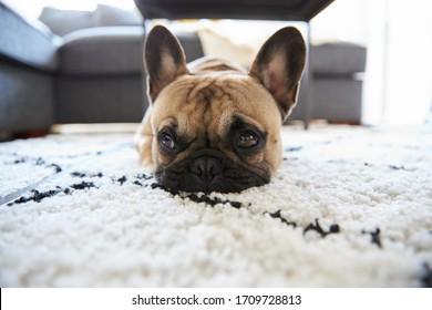 French Bulldog puppy lying on a rug landscape.