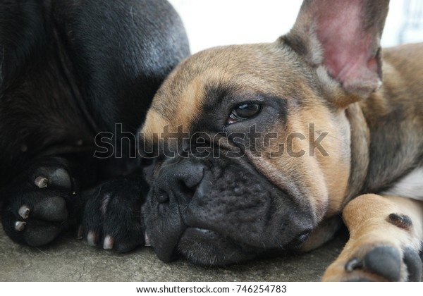 French bulldog puppy lying on floor, sleep time, sweet dream.