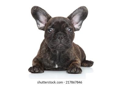 French bulldog puppy lying over white background