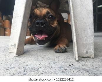 French bulldog puppy lying under the chair, cute dog.