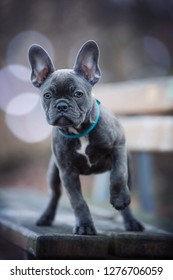 French bulldog puppy on a bench