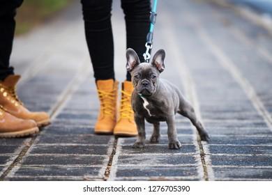 French bulldog puppy on a sidewalk