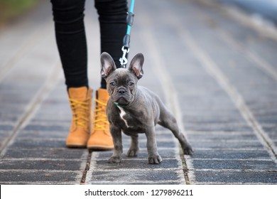 French bulldog puppy on a sidewalk