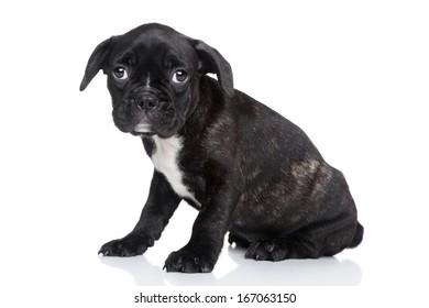 French bulldog puppy on white background
