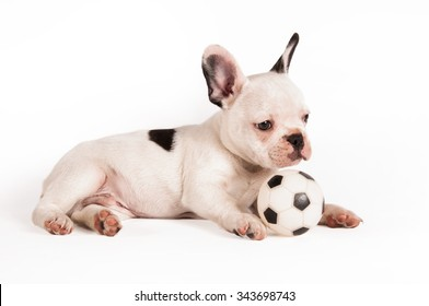 French bulldog puppy play with his ball between the legs