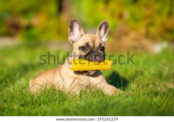 French bulldog puppy playing with a corn cob