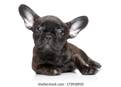 French Bulldog puppy. Portrait on a white background