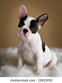 French bulldog puppy poses with a  inquisitive look.