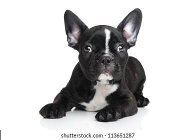 French bulldog puppy posing on a white background