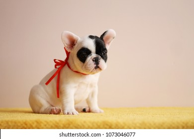 French bulldog puppy posing in the studio. Pink studio background.