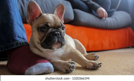 French bulldog puppy resting on owners foot relaxing