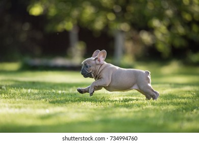 A french bulldog puppy is running in the park