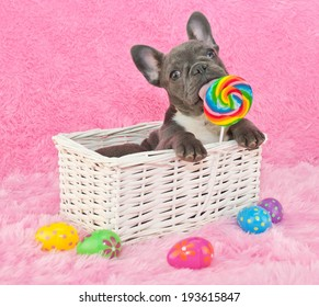 French bulldog puppy sitting in a basket licking a lollipop with Easter eggs around him.