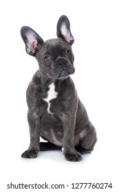 French bulldog puppy sitting isolated on white background