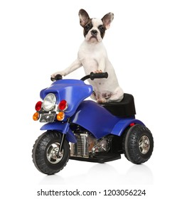French bulldog puppy sitting on a children's motorcycle