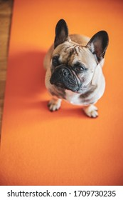 French Bulldog puppy sitting on yoga mat shot above with copy-space.