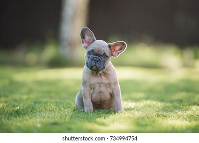 A french bulldog puppy sitting portrait in the park