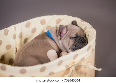 French Bulldog puppy is sleeping in the basket