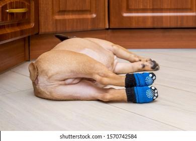 French bulldog puppy sleeps in socks